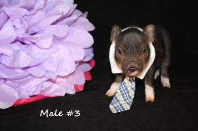 now accepting deposits on upcoming ampa registered mini pigs