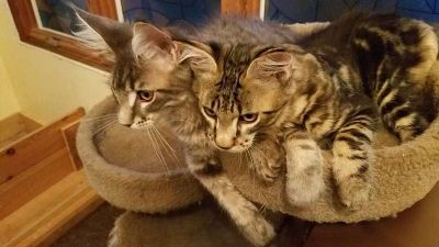 registered maine coon kittens - ready to go