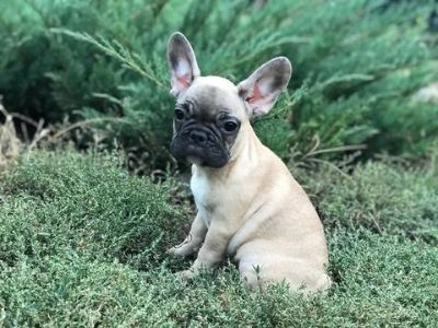 French Bulldog PUPPY FOR SALE ADN-96596 - Black Mask Fawn French Bulldog