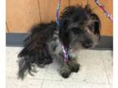 Adopt Midnight a Black Shih Tzu / Mixed dog in Madera, CA (25878935)