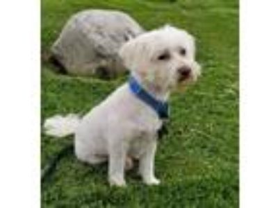 Adopt Charlie a Poodle (Standard) / Mixed dog in Lake Forest, CA (25203371)