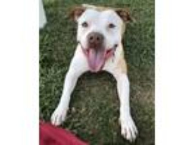 Adopt Buttercup a American Staffordshire Terrier