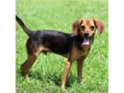 Adopt Roscoe a Brown/Chocolate - with Black Beagle / Pug / Mixed dog in Tavares