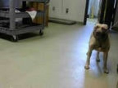 Adopt KILO a Brown/Chocolate American Pit Bull Terrier / Mixed dog in