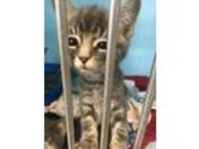 Adopt Baby Doll a Domestic Short Hair