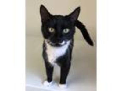 Adopt Shantelle a Black & White or Tuxedo Domestic Shorthair (short coat) cat in