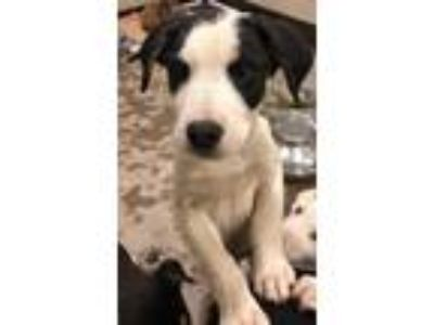 Adopt MAVERICK a Great Pyrenees, Affenpinscher