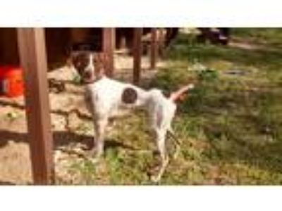 Adopt Scout a White - with Brown or Chocolate German Shorthaired Pointer dog in