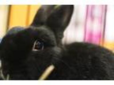 Adopt Shadow a Dwarf rabbit in Tampa, FL (20106604)