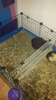 Guinea Pigs and Cage with Supplies