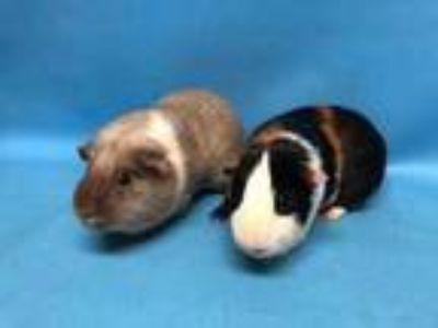 Adopt Milo a Brown or Chocolate Guinea Pig / Mixed small animal in Golden