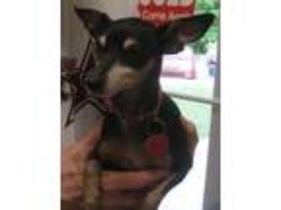 Adopt Esmerelda/Bella/Mini a Miniature Pinscher