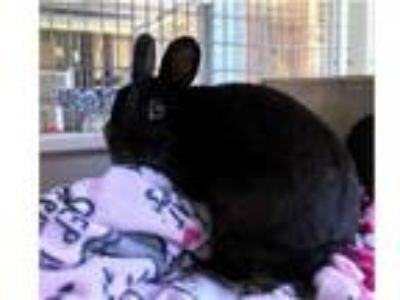 Adopt MIDNIGHT a Bunny Rabbit