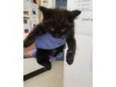 Adopt Pineapple a Domestic Mediumhair / Mixed cat in Silverdale, WA (25579453)