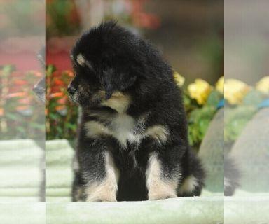 Tibetan Mastiff PUPPY FOR SALE ADN-126798 - Tibetan Mastiff