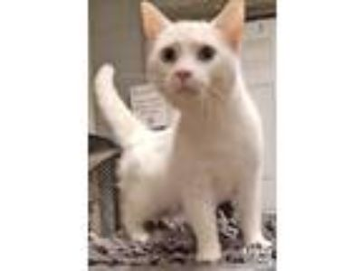 Adopt Dobby a White Domestic Shorthair / Mixed (short coat) cat in Washington