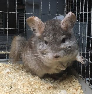10 Year Old Hetero Beige Female Chinchilla Up for Adoption