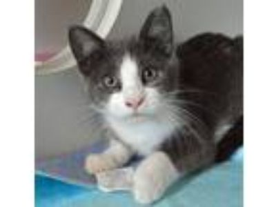 Adopt Tina Spay a Domestic Short Hair