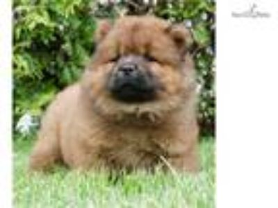 AKC Mey Adorable Chow Chow Puppy Ready to go!
