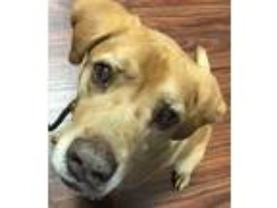 Adopt Mojo a Tan/Yellow/Fawn Labrador Retriever / Mixed dog in Van Alstyne
