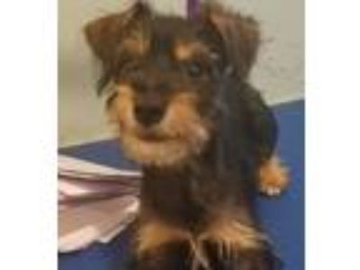 Adopt Getty a Yorkshire Terrier, Terrier