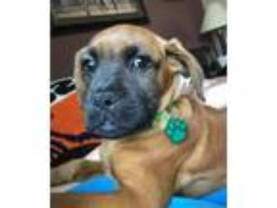 Adopt Hershey a Boxer, Mixed Breed