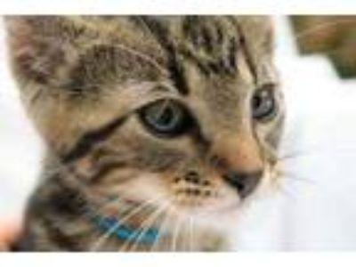Adopt Holmes a Gray or Blue Domestic Shorthair / Bengal / Mixed cat in Garland
