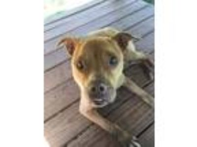 Adopt Razzle a Pit Bull Terrier