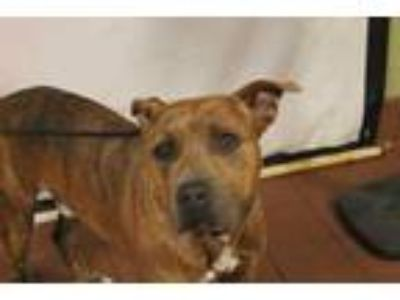 Adopt Buzz a Brown/Chocolate American Staffordshire Terrier / Mixed dog in