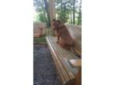 Adopt Cookie a Red/Golden/Orange/Chestnut - with Black Labrador Retriever / Bull