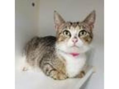 Adopt Grace a Brown or Chocolate Domestic Shorthair cat in Madisonville