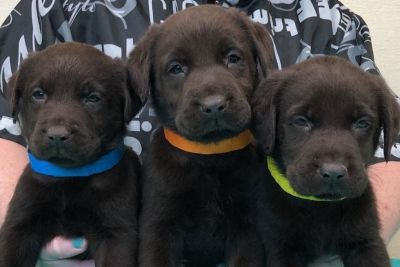 English Labrador Retriever Puppies