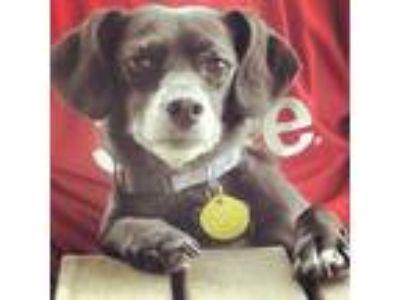 Adopt Duke a Black - with White Beagle / Dachshund / Mixed dog in McKinney