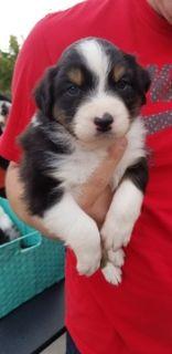 Australian Shepherd PUPPY FOR SALE ADN-108483 - Black Tri Male Australian Shepherd