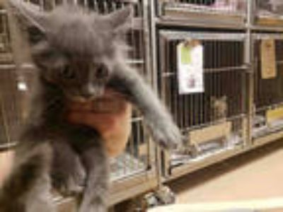 Adopt VAL* a Gray or Blue Domestic Shorthair / Mixed (short coat) cat in