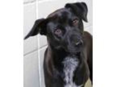 Adopt Clover a Black Terrier (Unknown Type, Small) / Mixed dog in Victoria