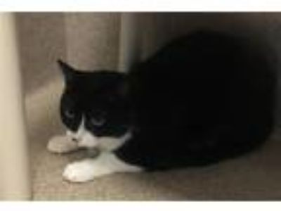 Adopt Duchess a Domestic Shorthair / Mixed cat in Oakland, CA (25909991)