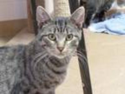 Adopt ERNIE a Domestic Short Hair, Tabby