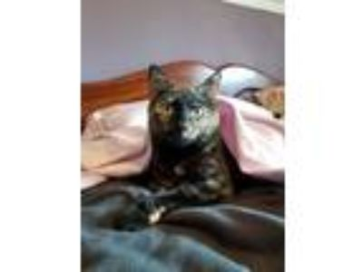 Adopt Ebony a Domestic Short Hair