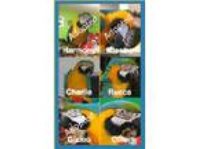 Adopt Ollie, Charlie & more a Macaw bird in Asheville, NC (14298279)