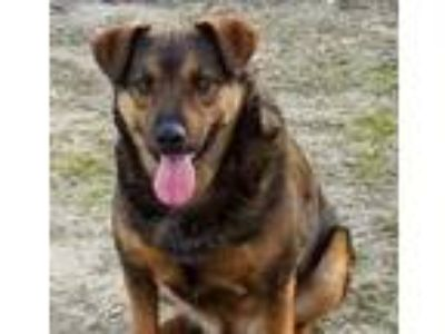 Adopt Calvin a Australian Cattle Dog / Blue Heeler