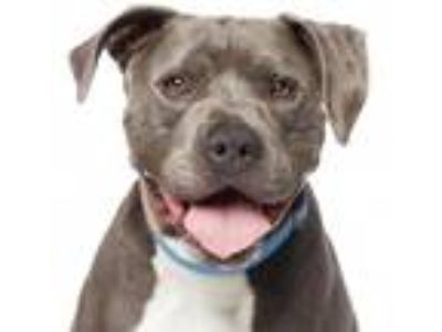 Adopt Maui a Gray/Silver/Salt & Pepper - with White Pit Bull Terrier / Mixed dog