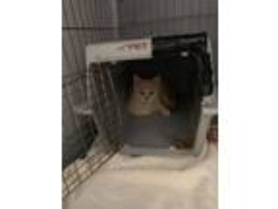 Adopt Alister a Domestic Short Hair