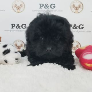 Maltese-Poodle (Toy) Mix PUPPY FOR SALE ADN-104760 - MALTIPOO MIA FEMALE