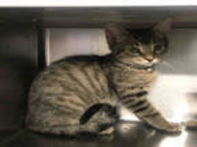 Adopt LINCOLN a Gray, Blue or Silver Tabby Domestic Shorthair / Mixed (short
