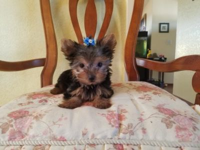 Yorkshire Terrier PUPPY FOR SALE ADN-99814 - Teacup Yorkie Girl
