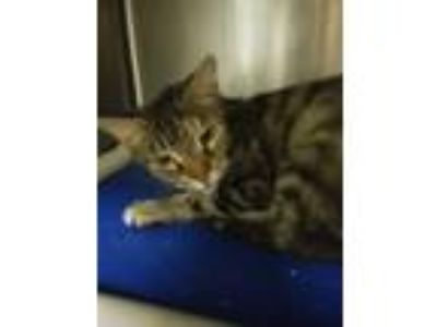 Adopt Marlee a Brown or Chocolate Domestic Shorthair cat in Camden