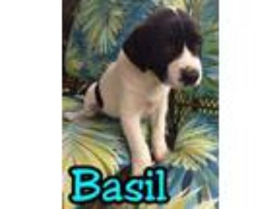 Adopt Basil a Labrador Retriever, Border Collie