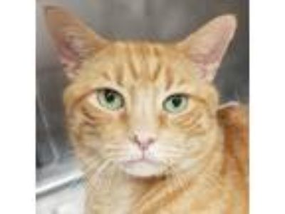 Adopt Patrick a Domestic Shorthair / Mixed (short coat) cat in New York