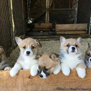 Excellent M/F Corgi Pups Ready Now